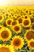 stock photo of sunflower  - sunflower field at sunset in Tuscany Italy