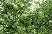 English Orchard Tree.