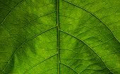 Tree Leaf