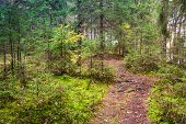 Empty Pathway In Pine Tree Forest, Karelia, Russia