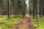 Empty Road In Pine Tree Forest, Karelia