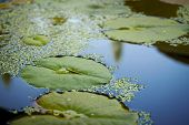 Lotus Leaves On Water