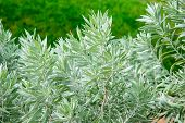 picture of poverty  - Silver Poverty Bush  - JPG