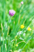 stock photo of chive  - natural green background with pink flower of chives herb close up - JPG
