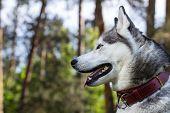 image of husky  - Portrait of a Siberian Husky - JPG