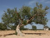 picture of centenarian  - Old tree in a desert landscape  - JPG