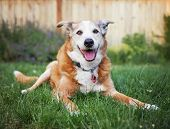 image of dog eye  - a senior dog laying in the grass in a backyard smiling at the camera - JPG