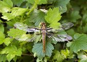stock photo of dragonflies  - Large dragonfly resting on leaves in forest - JPG