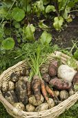 pic of turnips  - Muddy home grown red and white potatoes - JPG