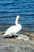 image of shoreline  - One adult mute swan with three small chicks on rock at the shoreline - JPG