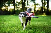 Happy dog playing outside and carrying the American flag poster