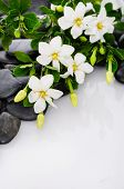 foto of gardenia  - Lying down gardenia with green plant on black pebbles  - JPG