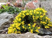 stock photo of cruciferous  - Draba or grits on stony flowerbed - JPG