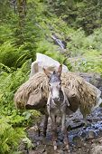 foto of donkey  - A donkey with a heavy load in a forest  - JPG