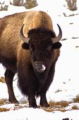 stock photo of wilder  - American Bison cleans his nose - JPG