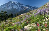 picture of pacific rim  - Mount Rainier wildflowers blooming in late summer - JPG