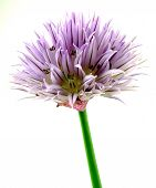 foto of chive  - a single chives blossom to white reason - JPG