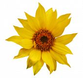 image of sunflower  - sunflower - JPG