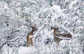 stock photo of mule deer  - Northern Arizona Mule Deers in Winter - JPG