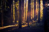 stock photo of redwood forest  - Mysterious Forest Trail - JPG