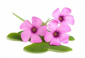 stock photo of sorrel  - Wood sorrel flowers with leaves isolated on white background - JPG