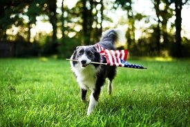 image of memorial  - Happy dog playing outside and carrying the American flag - JPG