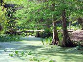 Cypress Trees  Pond
