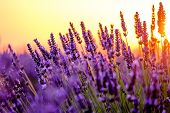 Blooming lavender in a field at sunset in Provence, France poster