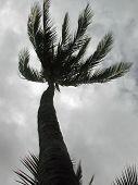 Palm Tree On A Windy Day