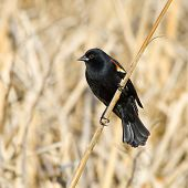 Male Red Wing Blackbird