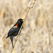 Singing Red Wing Blackbird