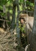 image of tarzan  - (Wild Florida Monkey) Thank you very much for looking Silver River Florida The Boss