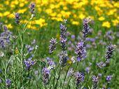 Field Of Violet Flowers