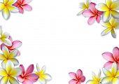 Постер, плакат: Рама frangipanis цветов