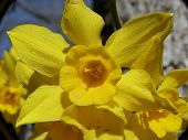 Face Of Daffodil