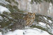 Birds-Screech Owls