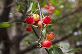 Cherries Hanging On A Cherry Tree Branch. Red And Sweet Cherries On A Branch. Branch With Cherries poster