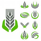 Cereal Ears And Grains Set For Agriculture Industry Or Logo Badge Design Vector Food Illustration Or poster