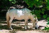 White Pony Horse Or Equus Caballus Mammal Animal. poster