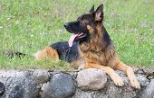 Dog breed german shepherd lies on the grass