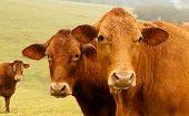 Three Brown Cows