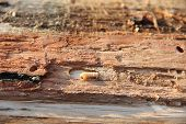 Larva Of Woodworm Lives Under Pine Bark. Common Furniture Beetle. Insect Pest poster