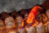 Imperator camarão