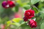 Beautiful Bush Of Red Roses In A Spring Garden. Rose Garden. poster