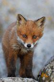 Little Fox On The Rocks