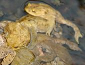 Lots Of Common Toads