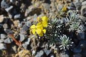 Endemic Croatian Yellow Flower - Latin Name - Degenia Velebitica poster