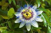 Passiflora Caerulea, The Blue Passionflower, Bluecrown Passionflower Or Common Passion Flower, Japan poster