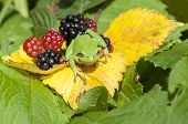The European Tree Frog (hyla Arborea Formerly Rana Arborea) Is A Small Tree Frog Found In Europe, As poster
