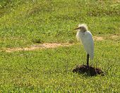 Cattle Egret standing on guard